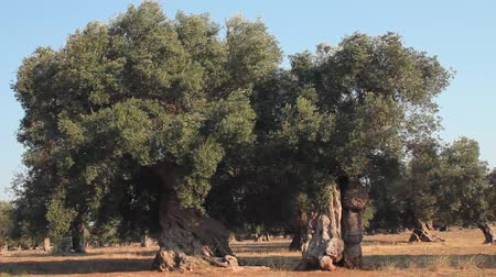 olivový olej : Wind blowing the leaves and branches of two native southern Italian olive trees