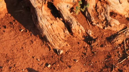oliva : Red clay earth and detail of an olive tree trunk