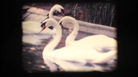 eight : Vintage 8mm. Swans swimming in a pond