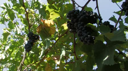 winnica : Ripe hanging grapes ready to be picked