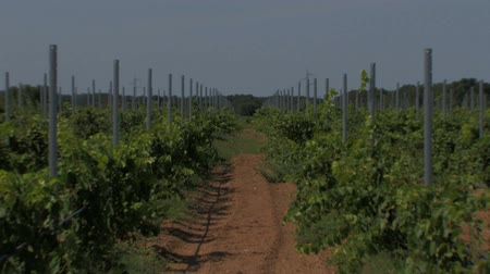 üretmek : Rows of small grape vines and dry red clay earth