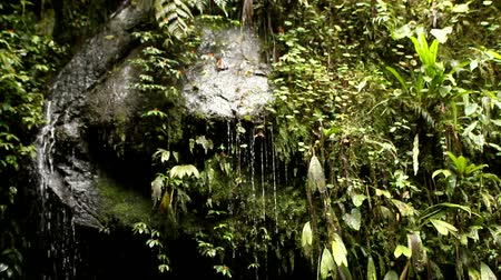 las tropikalny : Water dripping off wet rocks in cloud forest in Ecuador