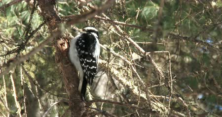 ave canora : Woodpecker resting on a branch in winter Vídeos