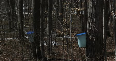 krzak : Sugar bush during maple syrup harvest season, with view of the buckets used to collect the sap