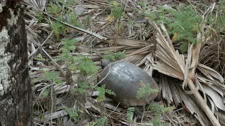 neapol : Land tortoise at the Barefoot Beach State Preserve in Florida, a land tortoise sanctuary