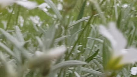 close up tracking shot of white flowers in a cloudy day in the mountain at groud level