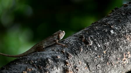 encanecido : The chameleons are grayish brown in color, with long tails on the mango tree targeting prey