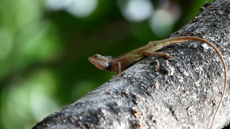 madagaskar : The chameleons are grayish brown in color, with long tails on the mango tree targeting prey