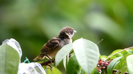 veréb : Sparrow, gray feathered, perched on a branch