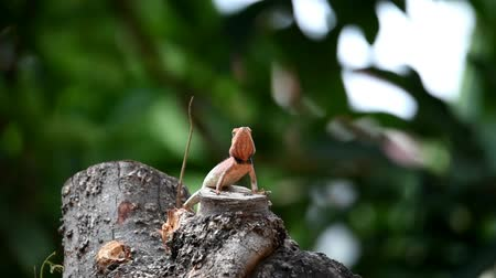 хамелеон : Four-legged chameleon on tree trunks, yellow-headed with long tails