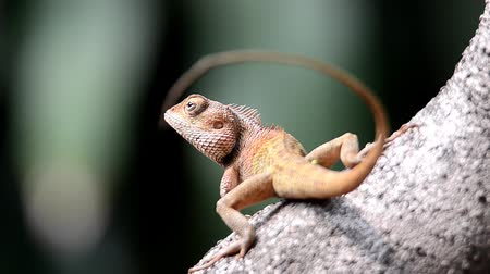 kameleon : Chameleons on tree trunks. Brownish orange on the head, black stripe on the neck.