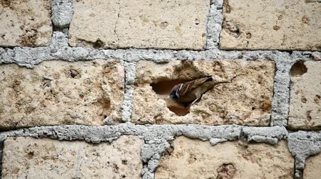 poleiro : A pair of sparrows perched on the wall and slipped between the brick holes Vídeos