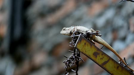 farpado : The chameleon is brown, quadruped above the barbed wire next to the wall fence Stock Footage