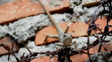 jaszczurka : The chameleon is brown, quadruped above the barbed wire next to the wall fence Wideo