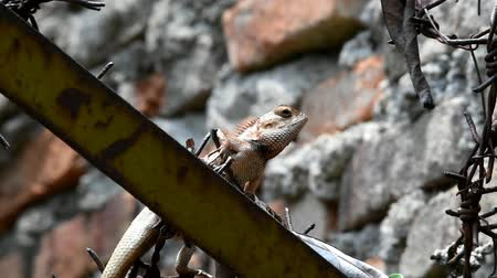 jaszczurka : Brown to gray chameleon is creeping between the barbed wire above the wall