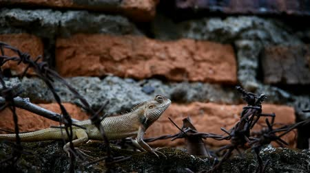 игуана : Brown to gray chameleon is creeping between the barbed wire above the wall