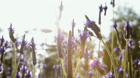 Lavender flowers in the foreground and blurred background. Vídeos