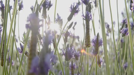 Lavender flowers in the foreground and blurred background. Stok Video