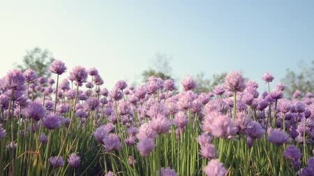 Chive flowers in the foreground and blurred background. Vídeos