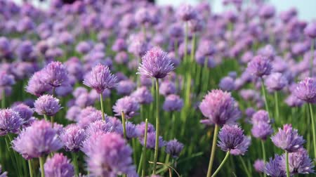 cebolinha : Chive flowers in the foreground and blurred background. Vídeos