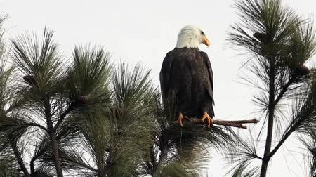 Video clip of a majestic bald eagle perched in a tree searching for food by Coeur dAlene Lake in north Idaho.