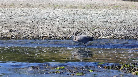 Video footage of a heron in the stream at the Esquimalt bay in Victoria BC, Canada.