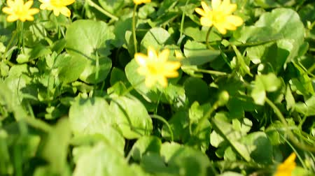 jardim : Small yellow flowers on the background of green grass