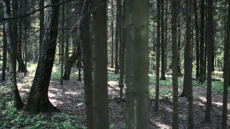 virgin forest : Walking past the grim shapes, dark summer forest. Walking past the forest
