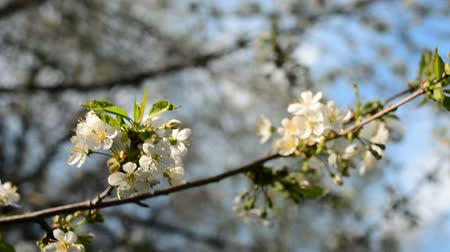 képeket : A blooming branch of an apple tree in spring with light wind. Blossoming apple with beautiful white flowers. Branch of an apple tree in bloom in the spring in a sunshine garden. Stock mozgókép