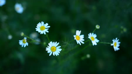 százszorszépek : Beautiful chamomile flowers sway in the wind. Nature of summer, flower fields, wild flower meadow, botany and biology, video for the background, videofootage nature, beautiful daisies. Stock mozgókép