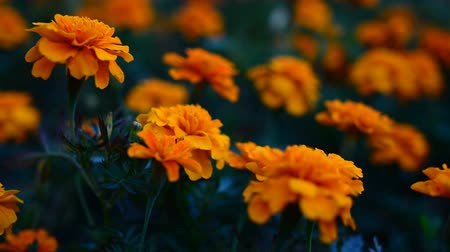 marigolds : The flower Tagetes patula in the garden. Marigold Tagetes patula flowers. Beautiful group of yellow and red flowers Tagetes Patula. Stock Footage