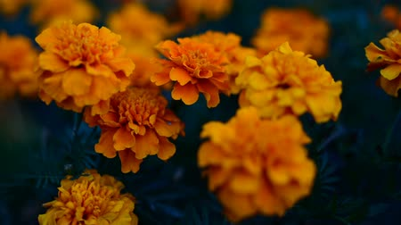 chryzantema : The flower Tagetes patula in the garden. Marigold Tagetes patula flowers. Beautiful group of yellow and red flowers Tagetes Patula. Wideo