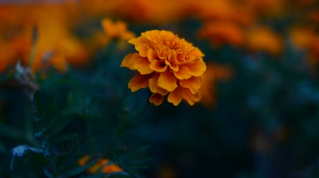 calendula blossoms : The flower Tagetes patula in the garden. Marigold Tagetes patula flowers. Beautiful group of yellow and red flowers Tagetes Patula. Stock Footage