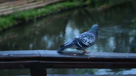 rock dove : close up pigeon on ledge