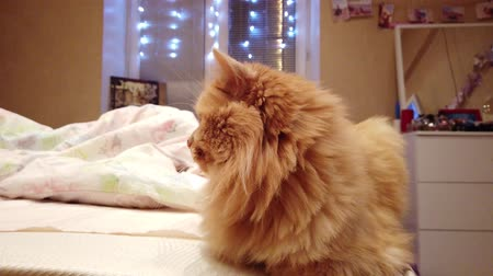 tlapky : Beautiful cat at home
