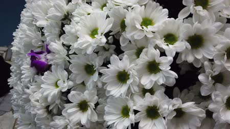 camomila : Big white bouquet of camomiles