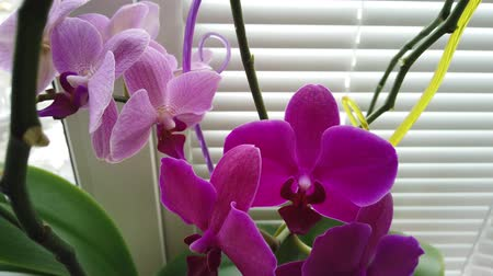 горшках : Orchid on the window in the house. Flowers and plants for the home. Стоковые видеозаписи
