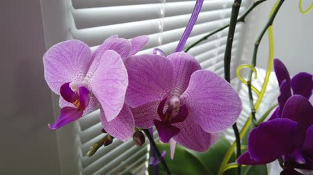orchideeen : Orchid on the window in the house. Flowers and plants for the home. Stockvideo
