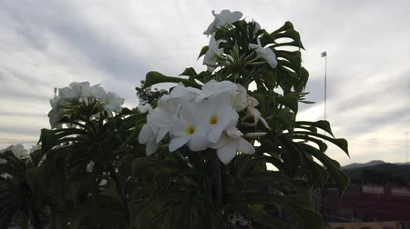 sundurma : White Petunia Flowers Hanging On The Porch. White flowers in Trinidad, Cuba.