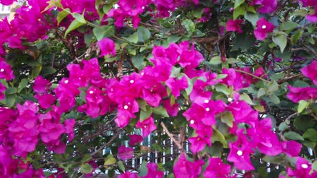 magenta flowers : Climbing above a colorful fence with magenta and pink flowers