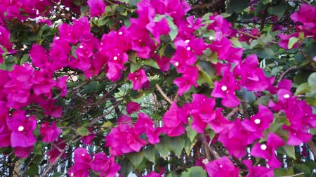 picket : Climbing above a colorful fence with magenta and pink flowers