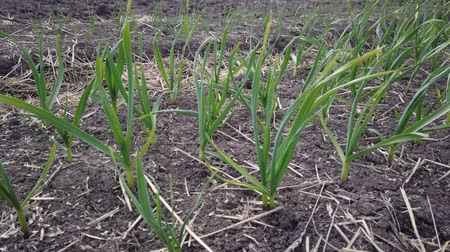 weeding : Line of early green onion plantation in spring. Close-up of young green onion