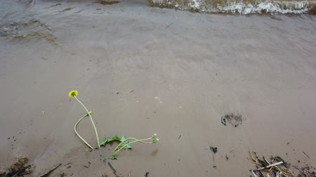 alba : 4K Flowers on river water wave., Flowers on sandy river beach