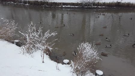 アヒルの子 : Ducks swim in the pond in winter, next to walk pigeons. The park fell fresh white snow.