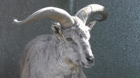 koyun : Himalayan blue sheep or Bharal