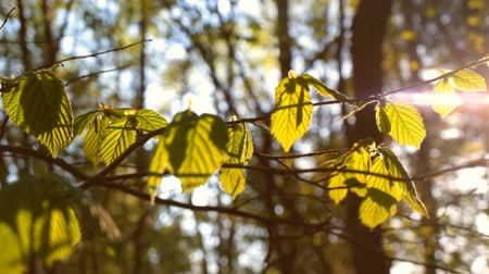 napfény : Sunlight Shines Through the Leaves of a Tree
