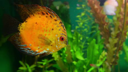 bunter fisch : Discus Golden Sun im Aquarium