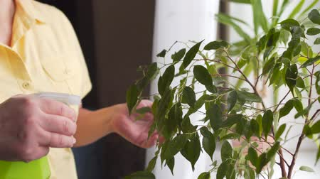 houseplant : Female hand spraying a ficus with sprayer at home