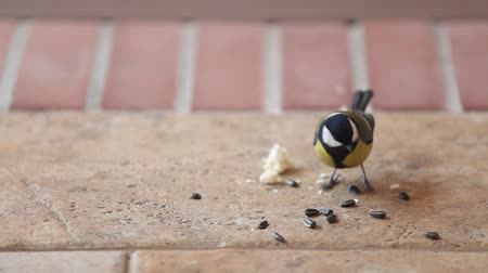 Several large tits fly up to a bunch of sunflower seeds on the floor take one at a time and fly away Стоковые видеозаписи