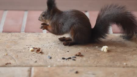 beautiful squirrel with fluffy ears and tail found a chopped walnut on the floor and ate it Стоковые видеозаписи